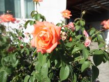 Orange rose. In front of windows royalty free stock photo