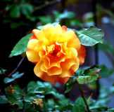 Orange Rose. This is an orange rose in full bloom stock photography