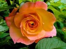 Orange rose in full bloom Stock Photos