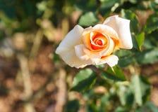 Orange rose. In the garden stock photo