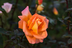 Orange rose. stock photo