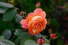 Orange rose. stock photography