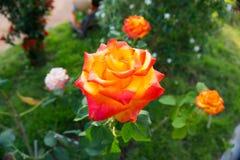 Orange rose. In the garden royalty free stock image