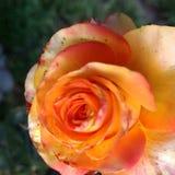 Orange rose. An orange rose in the garden royalty free stock photos