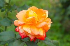 Orange rose in the garden Royalty Free Stock Image