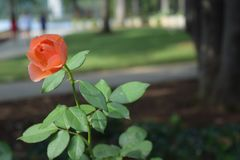 Orange Rose Blowing in the Wind stock photos