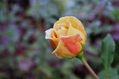 Orange rose in a garden Stock Photos