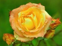 Orange rose in the garden. Close-up stock photo