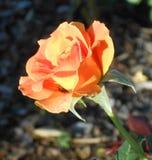 Orange Rose. Garden flower bugs stock images