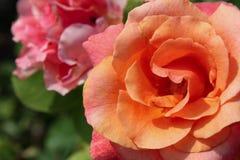 Orange Rose in a Garden Stock Images