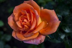 Orange rose in the garden.. Home Flower Stock Photos