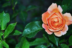 Orange rose in the garden at home. Fresh petals, light colors, inviting scent royalty free stock photo