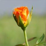 Orange rose. Orange rose in the garden with morning sun light royalty free stock image