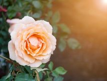 Orange rose. Orange rose in garden royalty free stock images