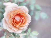 Orange rose. In garden royalty free stock photo