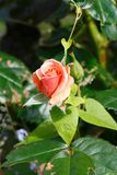 Orange rose in a garden. During spring royalty free stock photo
