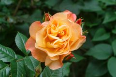 Orange rose in a garden. During spring royalty free stock photos