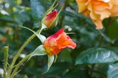 Orange rose in a garden. During spring royalty free stock image