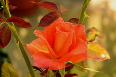 Orange rose in the grandparents` yard in the country.  royalty free stock image