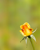Orange rose and green background Stock Image