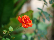 Orange Rose. With Green leaf Stock Photo