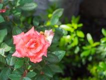 Orange rose on green leaves background. stock image