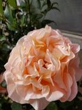 Pale orange rose. Orange rose green leaves royalty free stock photography