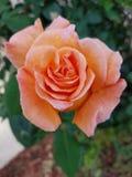 Small orange rose. Orange rose green leaves stock photos
