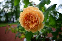 Orange rose growing in a city park. Orange rose attracts attention with its tenderness and color. The fullness of her flower gives her a gorgeous look. She stock photos