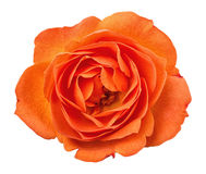 Orange rose head isolated  on white  background Stock Images