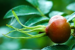 Orange Rose Hip. A orange rose hip and green leaves on a sunny day royalty free stock photography