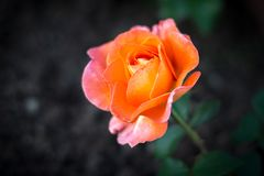 Orange Rose im Garten stockfoto