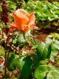 Orange Rose. The image of pale orange rose flower royalty free stock photos