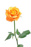 Orange rose isolated royalty free stock images