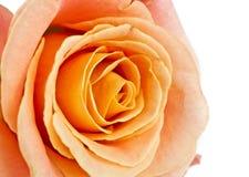 Orange rose isolated Royalty Free Stock Photo