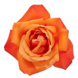 Orange rose isolated with clipping path. Vibrant orange rose blossom isolated with clipping path stock images