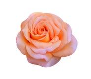 Orange rose. Isolated romantic valentine beautiful royalty free stock photography