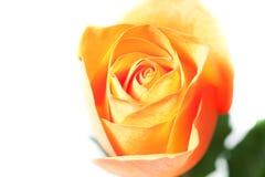 Orange rose isolated on white. Beautiful orange rose isolated on white stock images