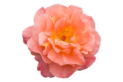 Orange rose - isolated Royalty Free Stock Photos