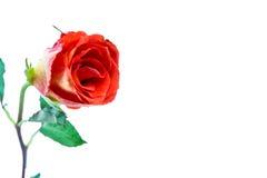 Orange rose Stock Photos