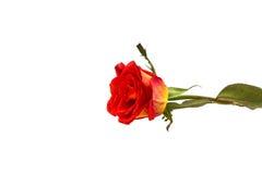 Orange rose isolated on white.  stock photo