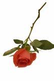 Orange rose isolated on white. Beautiful orange rose isolated on white background stock photo