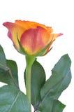 Orange rose. Isolated on white background stock images