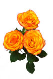 Orange rose isolated Royalty Free Stock Image