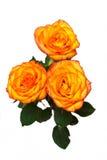 Orange rose isolated. On white background royalty free stock image