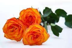 Orange rose isolated. On white background stock images