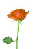 Orange rose isolated on white background.  royalty free stock images