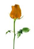 Orange rose isolated on white background. Orange rose isolated on white background royalty free stock images