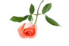 Orange rose isolated on white. Background stock photo