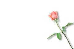 Orange rose isolated on white. Background stock photos